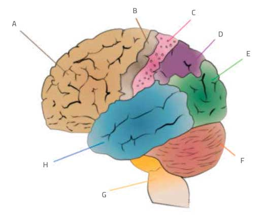 Different stimuli are processed by different parts of the brain.