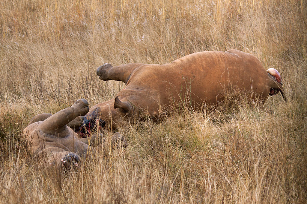 A mother and calf killed for their horns in Gauteng, South Africa