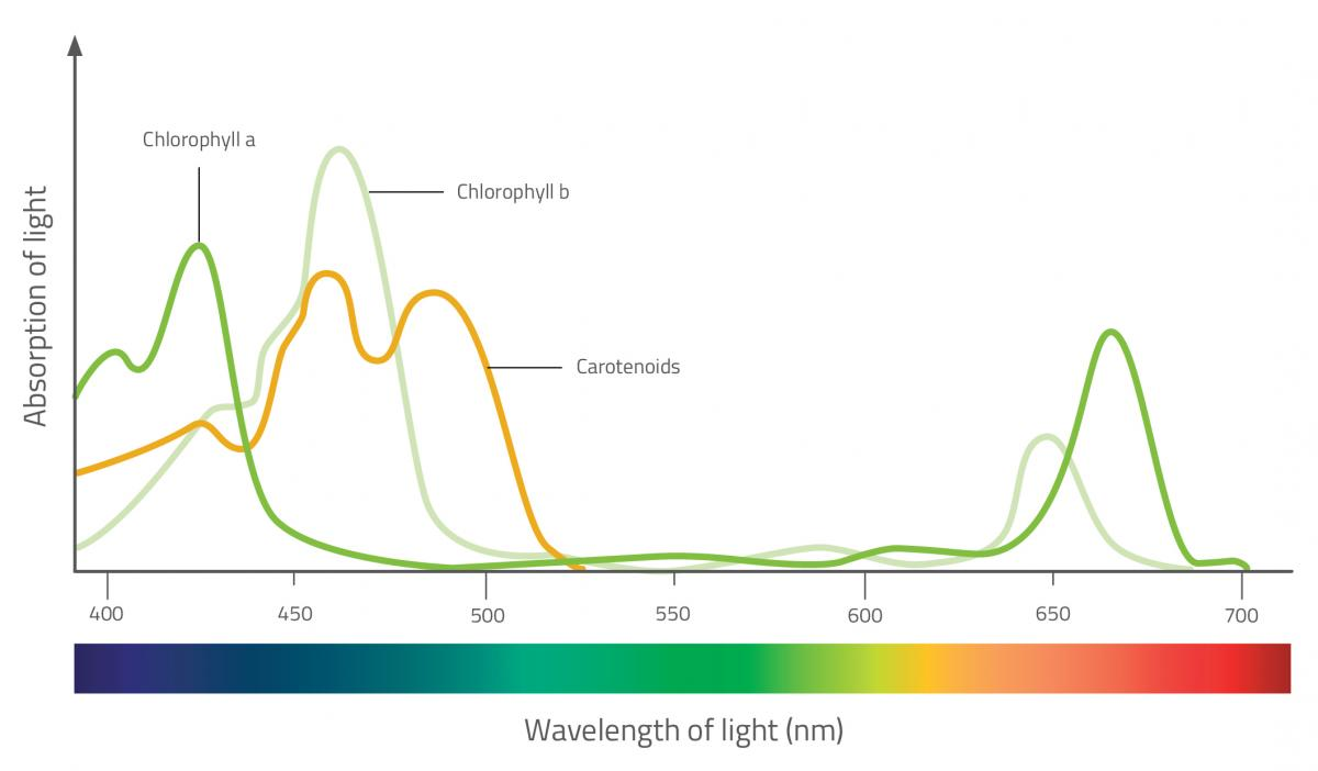 Absorption spectrum for photosynthetic pigments