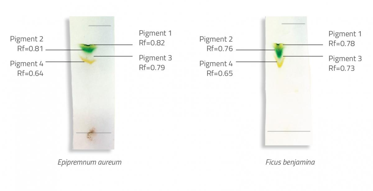Chromatograms and corresponding Rf values for two leaf samples