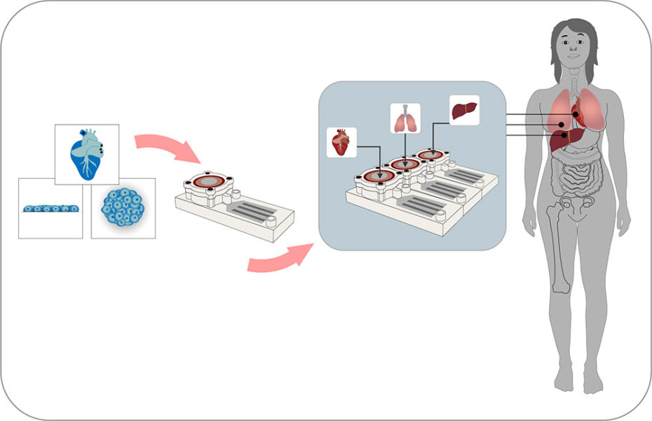 A scheme showing how multiple organ-on-chip systems used in sequence can be used to approximate the human body.